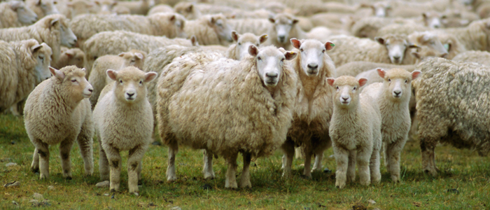 sheep700